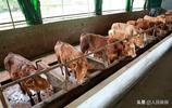 """""""家中養殖一頭牛,脫貧致富不用愁""""肉牛養殖已成豐都的支柱產業"""