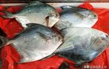 青島本地鮮鮁魚搶手 大鮁魚漁船拿貨40元一斤 五一活蝦上市