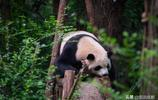 """太熱了,熊貓都跑進了游泳池,呆萌""""癱睡""""萌翻遊客"""