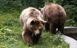 龐大的棕熊圖片(12張)