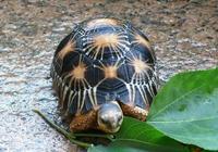 輻射陸龜的生長繁殖