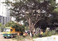 砍掉幾百棵十年榕樹換種白蘭 天河區居民心痛想問:為什麼?