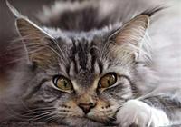 溫柔的巨人緬因貓,這麼大體型的貓竟有這樣的一面,網友:吃破產