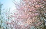 圖蟲靜物攝影:櫻花啊櫻花