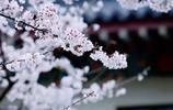 春天來了,有去看櫻花的麼朋友?雞鳴寺櫻花