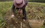 金秋時節農民手機鏡頭下的花生豐收景象