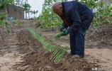 山西74老人核桃樹地裡套種蔬菜,只為家人能吃上無農藥綠色蔬菜