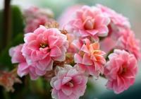 別再養綠蘿吊蘭了,此花美豔又好種,花期長花量大,適合新手懶人