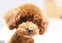 純種泰迪犬的4大特徵,你家有嗎?