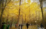 銀杏林前一盆景 試問客人都幾許 今秋美景還復來 人生幾何多逍遙