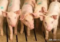 養豬要想有效預防豬病,養豬人做到這6點就夠了!