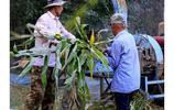 玉米秸稈青儲,冬季用來喂牲口