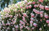 這些爬藤植物一開花就成瀑布,很簡單就讓陽臺成為小花園