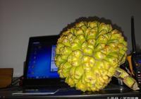 你沒見過的一種神祕果,像菠蘿卻不叫菠蘿,叫假菠蘿、野菠蘿