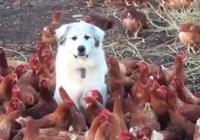 主人讓狗狗看雞場,結果它被包圍了,嚇得一動不敢動:雞大哥饒我一命吧!