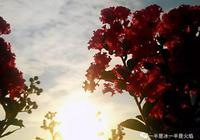 散文:紫薇花又開