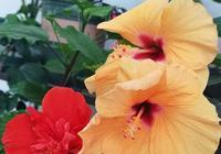 家庭種植扶桑花開花很少,還愛落蕾是怎麼回事?