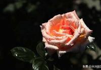 純科普:國際通行月季花分類和類型標準:(英文縮寫及詳細解讀)