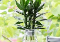 富貴竹水培怎麼養?做好這5點,富貴竹葉片翠綠,生長旺盛節節高