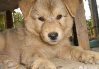 中華田園犬有沒有固定的樣子?是不是所有串兒都叫中華田園犬?
