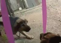 主人用一面鏡子給狗狗整瘋了,狗狗:這飯沒法吃了,先打一架再說