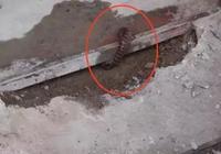 阜陽這條蛇太幸運了,卡在居民門檻下之後,看大家是怎麼救它的