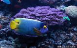 藍面神仙魚海缸魚就是很漂亮