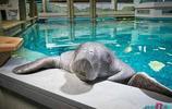 69歲海牛被困管道溺水而亡,世界上最古老的海牛就這麼死了
