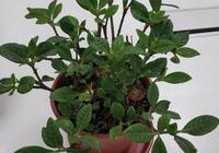 梔子花養殖:養死十盆梔子花,才知道,原來養梔子花有竅門