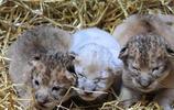 母獅子在產下三個小獅子之後便離開了,可憐的小獅子沒人照顧!