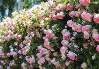 想種出來藤本月季花牆?讓藤本月季長得又粗又壯?記住這幾點