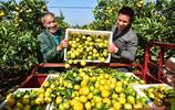 梔子蜜橘菊花到了收穫季,南方的秋天別有一番滋味