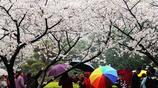 2019武漢大學櫻花即將迎來盛花期,需提前預約!想拍照的別錯過!