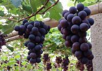 5句話解析:2017年葡萄品種及未來市場走向!種植戶栽培須知!