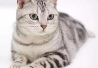 每日一貓:美國短毛貓