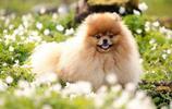 地球上5大長得最可愛的狗狗,博美和貴賓上榜,你喜歡哪一種?