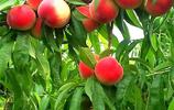家裡有空地,可以種上這幾種易活產量高的果樹,來年水果任性吃
