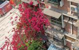 """居民在家裡養的三葉梅從三樓長到一樓,開花後美成一道""""花瀑布"""""""
