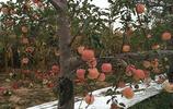 十園九腐爛,蘋果樹腐爛病在果園橫行