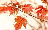 攝影師的天堂—香山紅葉