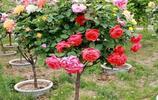 這十種爬藤現在種下去春天就能爬藤,陽臺瞬間變成小花園