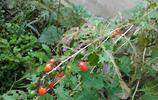 農村媽媽遇到這樣的植物,非要拿回家晒乾給我泡水喝,這個能吃嗎