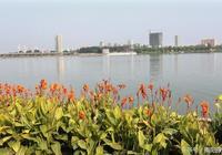 南陽白河水生植物 美人蕉盛開