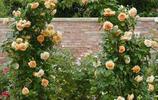 適合種植在庭院的幾種爬藤,花開時節像一座大大的花園