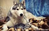 """西伯利亞雪橇犬""""哈士奇""""雪地裡的傳奇"""