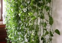 別人家的綠蘿都能爬牆了,你的卻不見藤條,原來是這一點沒做好