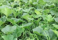 生態三農:立春後種植什麼蔬菜,這些蔬菜具有一定抗寒能力