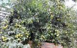 8月棗子成熟,看到鄰居家陽臺上種的棗子,好羨慕