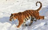 動物圖集:東北虎