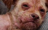 夏天狗狗皮膚病的高峰期,教你一招,讓皮膚病離得遠遠的